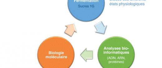 Optimisation d'un micro-organisme d'intérêt pour la bioproduction d'isopropanol et de n-butanol
